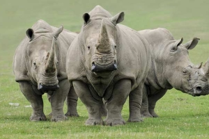 Preparations Underway for a Procedure That Could Help to Produce New Northern White Rhinos