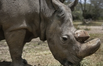 Sudan, the World's Last Male Northern White Rhino, Dies in Ol Pejeta