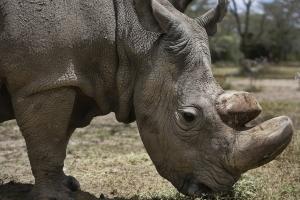 Sudan, the World's Last Male Northern White Rhino, Dies in Ol Pejeta