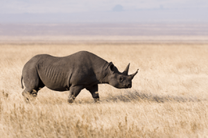 KWS Woes Increase After Rhino Relocation Disaster as Devastating Audit Report is Published by PWC