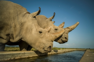 Northern White Rhino Eggs Successfully Fertilised
